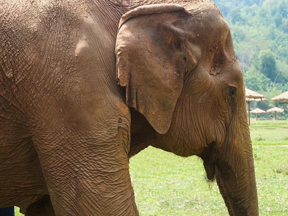 Procurando um passeio ético com elefantes na Tailândia? Então conheça o Elephant Nature Park, em Chiang Mai! Clique no link para ler tudo sobre esse lugar incrível!